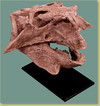 Psittacosaurus sp. Adult Skull - Fossil Replica